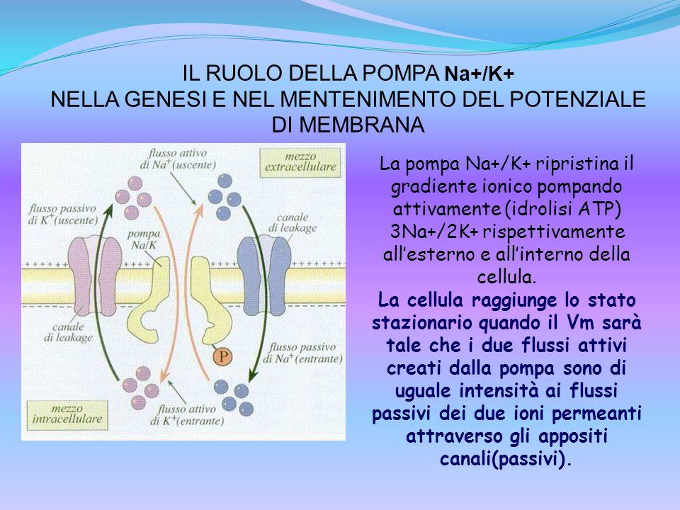 IL RUOLO DELLA POMPA Na+/K+ NELLA GENESI E NEL MENTENIMENTO DEL POTENZIALE DI MEMBRANA