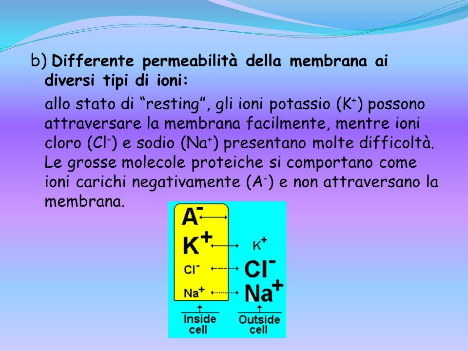 b) Differente permeabilità della membrana ai diversi tipi di ioni: