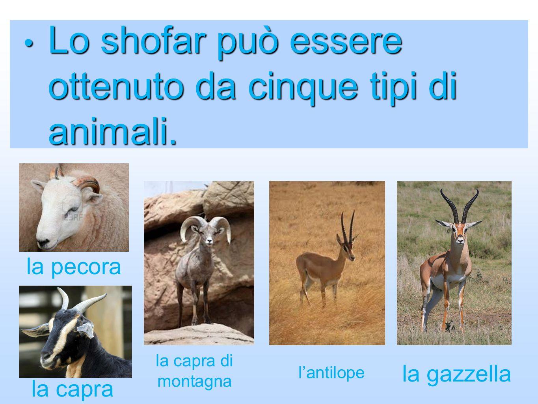 Lo shofar può essere ottenuto da cinque tipi di animali.