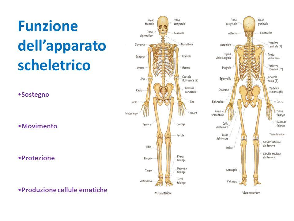 Funzione dell'apparato scheletrico
