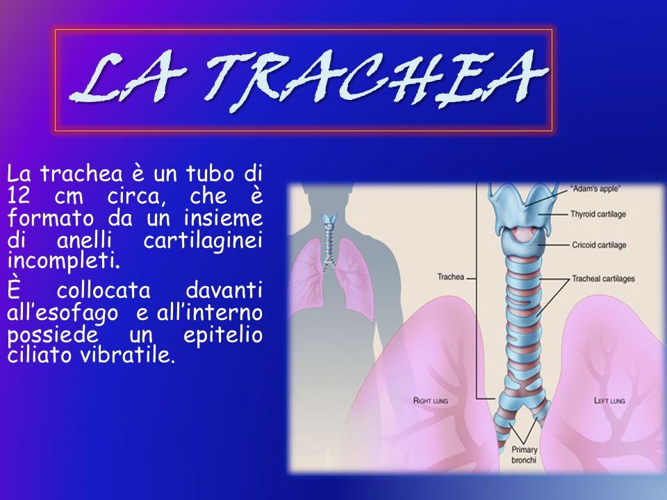 LA TRACHEA La trachea è un tubo di 12 cm circa, che è formato da un insieme di anelli cartilaginei incompleti.