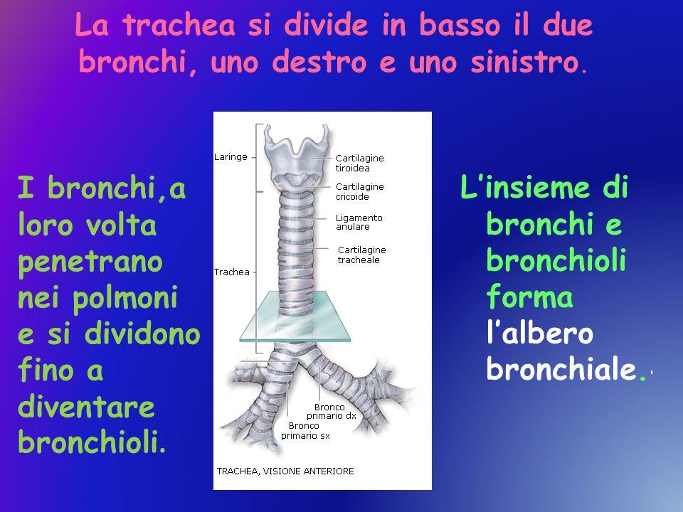 La trachea si divide in basso il due bronchi, uno destro e uno sinistro.
