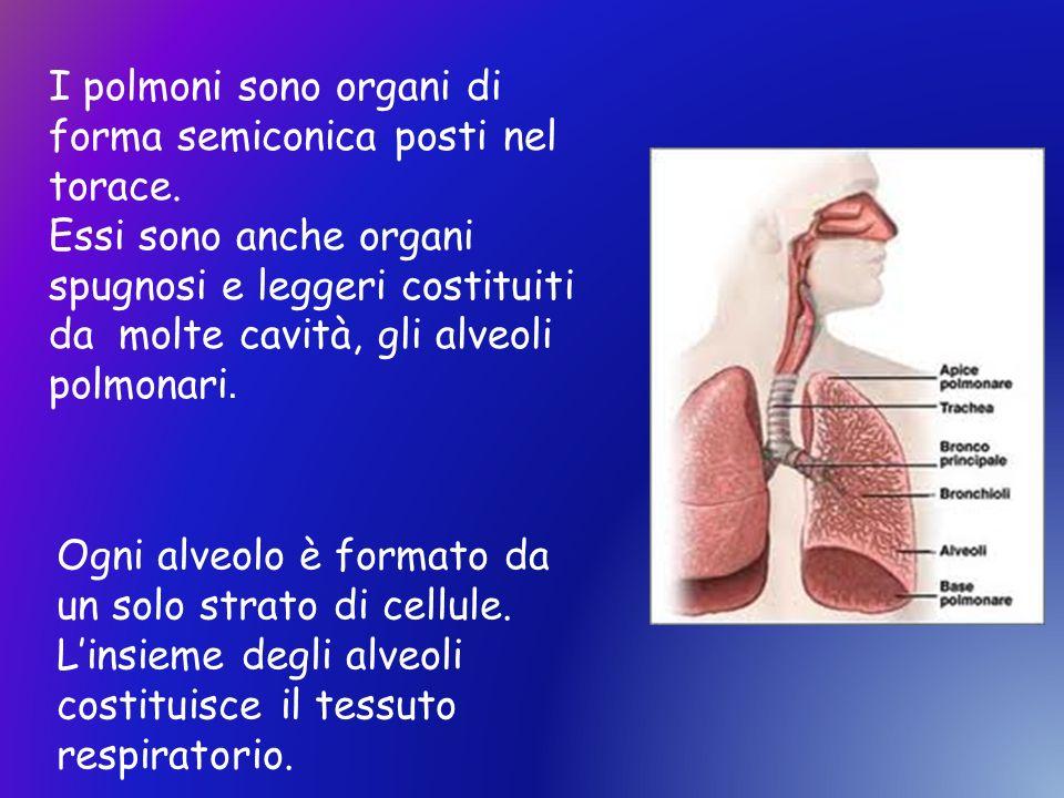 I polmoni sono organi di forma semiconica posti nel torace.