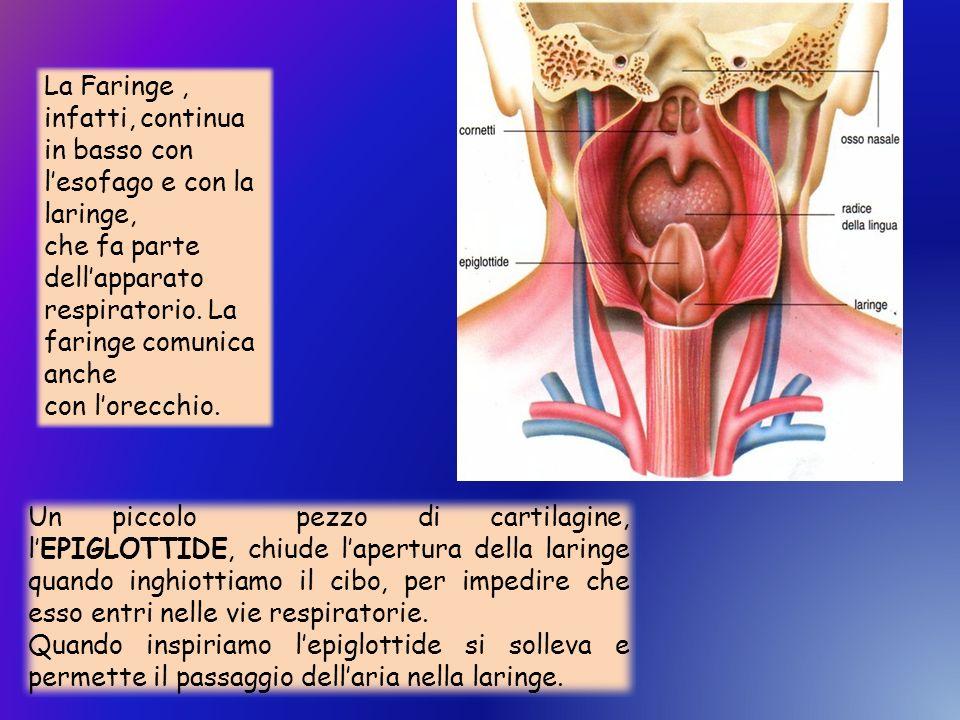 La Faringe , infatti, continua in basso con l'esofago e con la laringe,