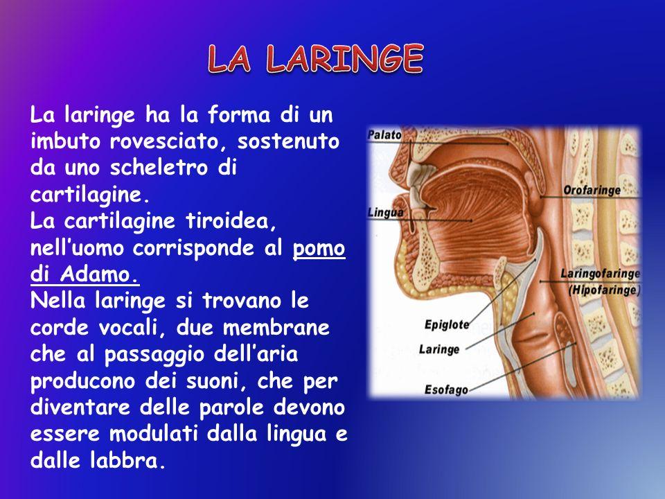 LA LARINGE La laringe ha la forma di un imbuto rovesciato, sostenuto da uno scheletro di cartilagine.