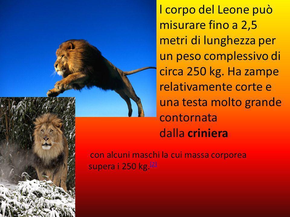 l corpo del Leone può misurare fino a 2,5 metri di lunghezza per un peso complessivo di circa 250 kg. Ha zampe relativamente corte e una testa molto grande contornata dalla criniera