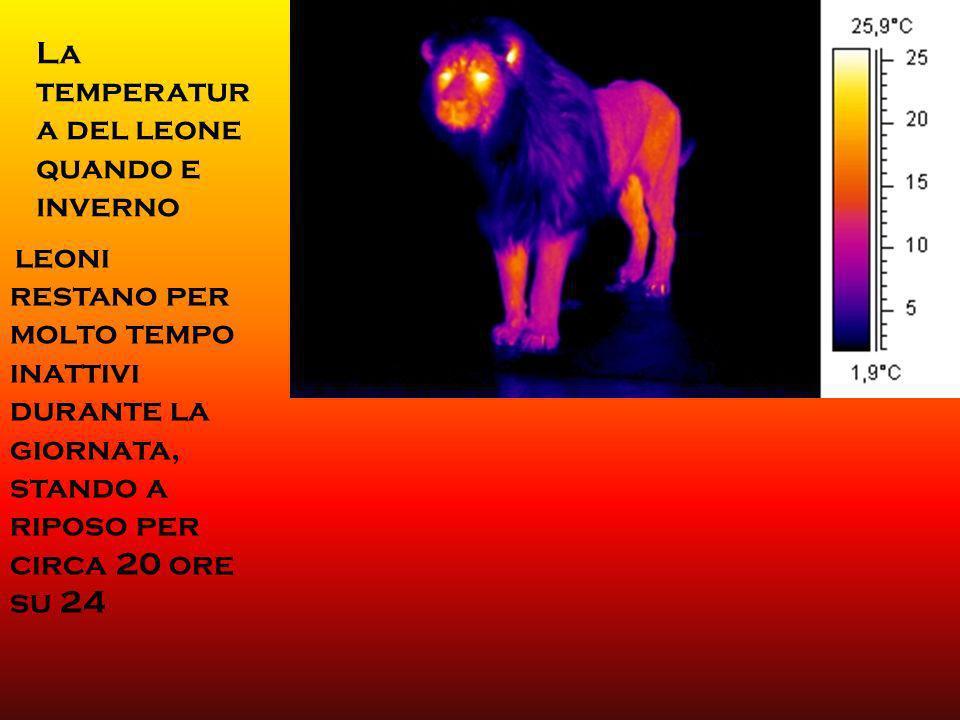 La temperatura del leone quando e inverno