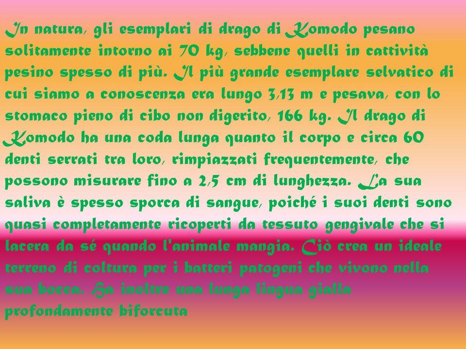 In natura, gli esemplari di drago di Komodo pesano solitamente intorno ai 70 kg, sebbene quelli in cattività pesino spesso di più.