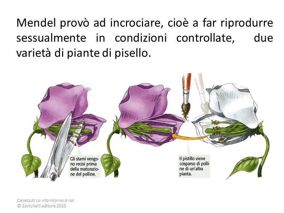 Mendel provò ad incrociare, cioè a far riprodurre sessualmente in condizioni controllate, due varietà di piante di pisello.
