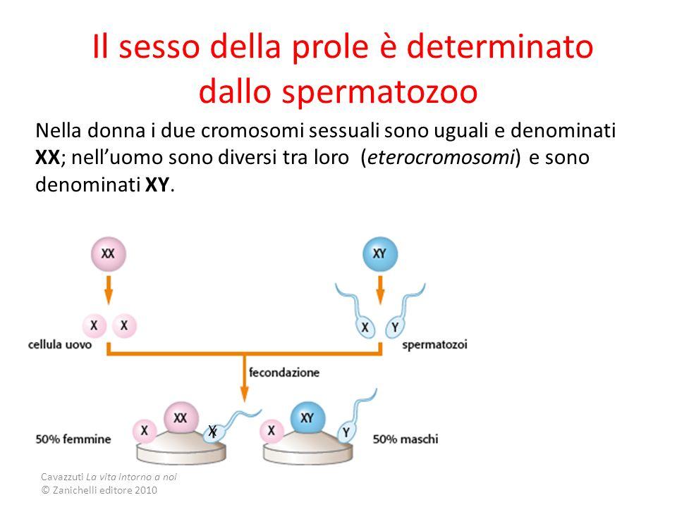 Il sesso della prole è determinato dallo spermatozoo