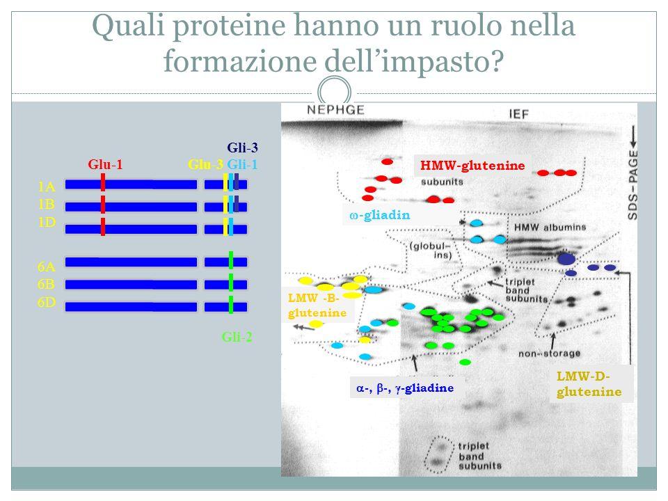 Quali proteine hanno un ruolo nella formazione dell'impasto
