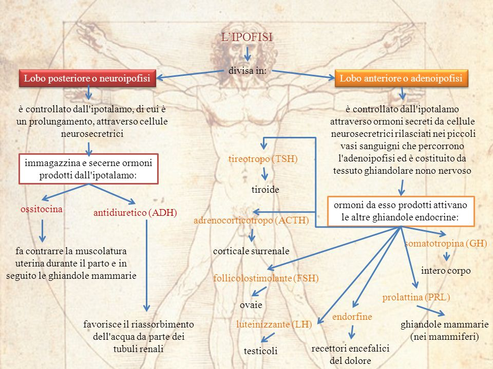 L'IPOFISI divisa in: Lobo posteriore o neuroipofisi
