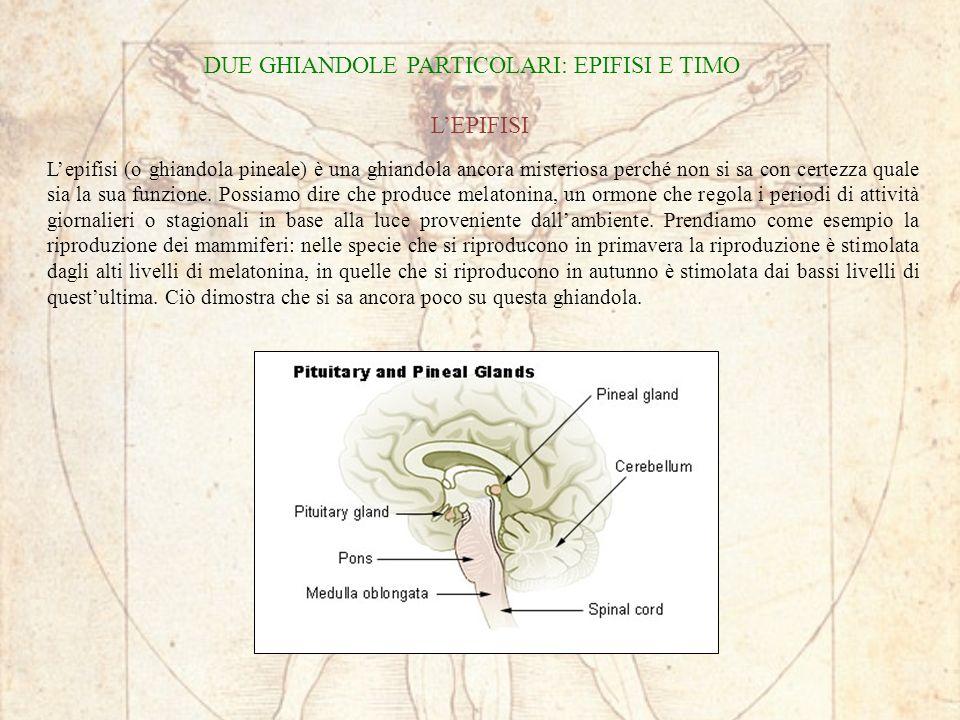 DUE GHIANDOLE PARTICOLARI: EPIFISI E TIMO