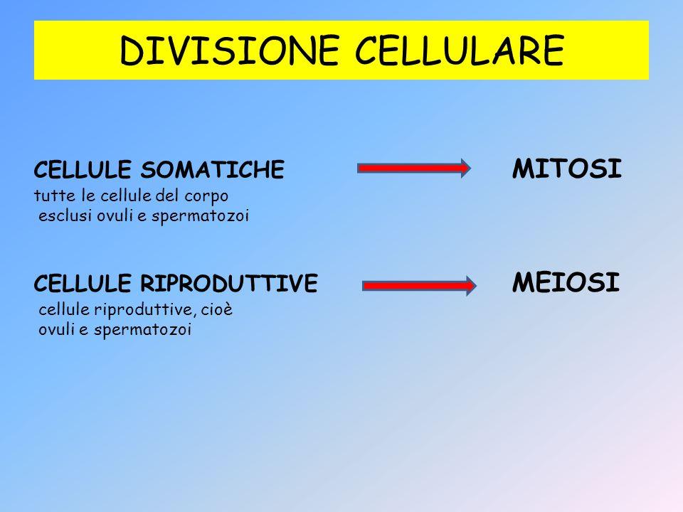 DIVISIONE CELLULARE CELLULE SOMATICHE MITOSI