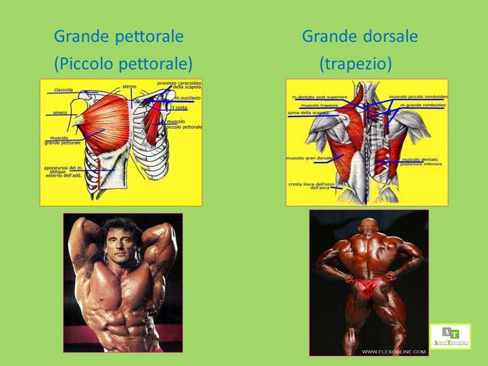 Grande dorsale (trapezio)