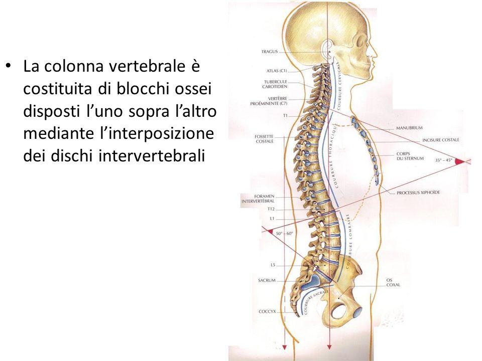 La colonna vertebrale è costituita di blocchi ossei disposti l'uno sopra l'altro mediante l'interposizione dei dischi intervertebrali