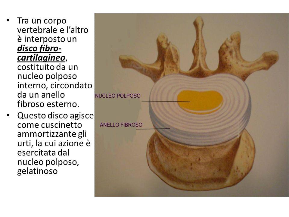 Tra un corpo vertebrale e l'altro è interposto un disco fibro-cartilagineo, costituito da un nucleo polposo interno, circondato da un anello fibroso esterno.