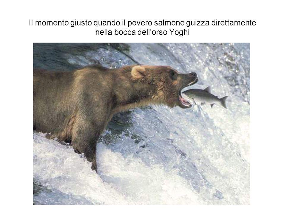 Il momento giusto quando il povero salmone guizza direttamente nella bocca dell'orso Yoghi