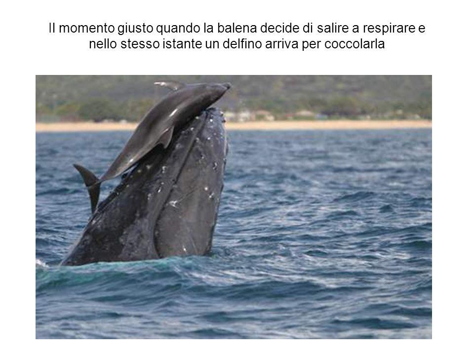 Il momento giusto quando la balena decide di salire a respirare e nello stesso istante un delfino arriva per coccolarla