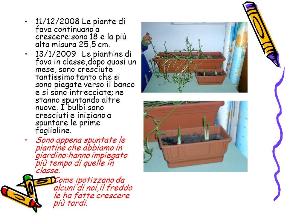 11/12/2008 Le piante di fava continuano a crescere:sono 18 e la più alta misura 25,5 cm.