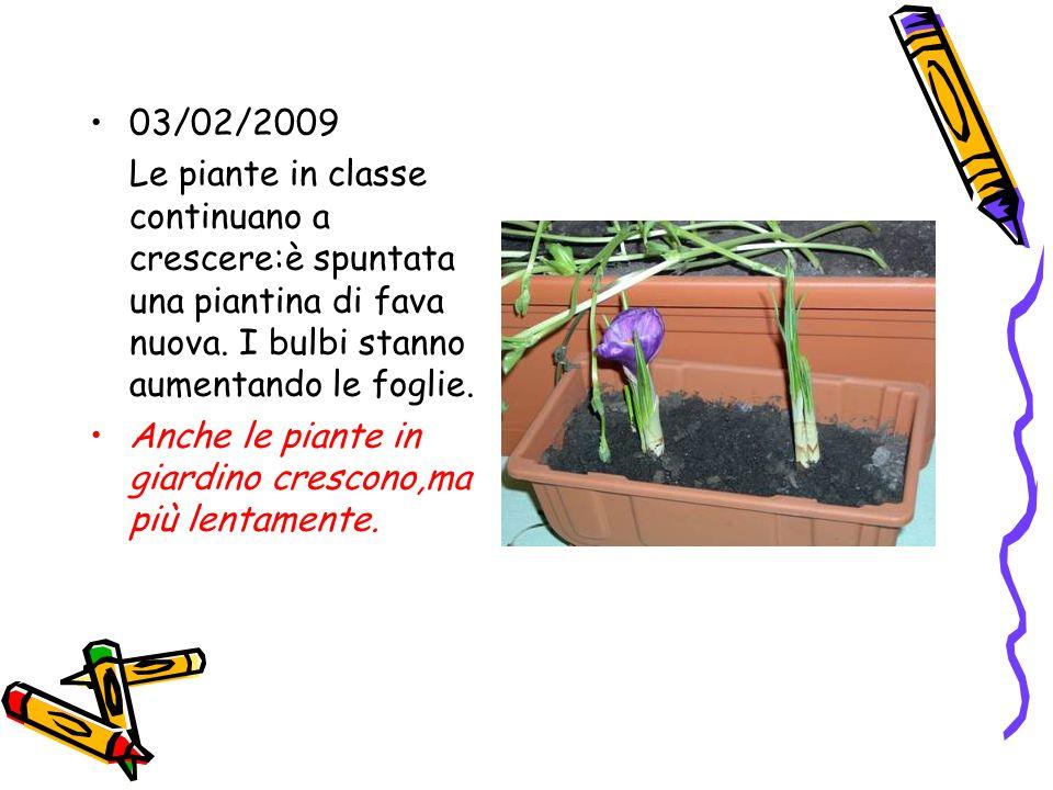 03/02/2009 Le piante in classe continuano a crescere:è spuntata una piantina di fava nuova. I bulbi stanno aumentando le foglie.