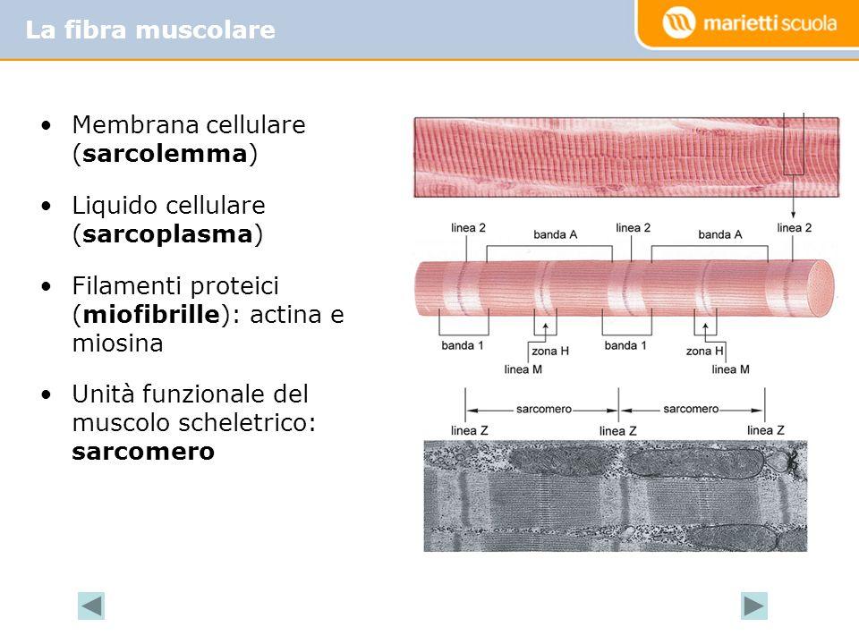 La fibra muscolare Membrana cellulare (sarcolemma) Liquido cellulare (sarcoplasma) Filamenti proteici (miofibrille): actina e miosina.