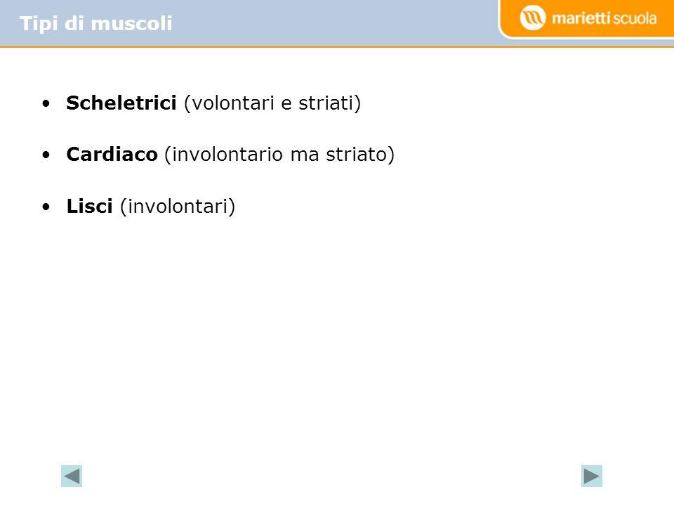 Tipi di muscoli Scheletrici (volontari e striati) Cardiaco (involontario ma striato) Lisci (involontari)