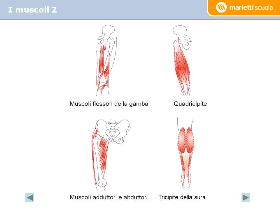 I muscoli 2 Tricipite della sura
