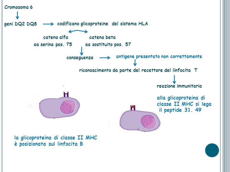 Cromosoma 6 alla glicoproteina di classe II MHC si lega