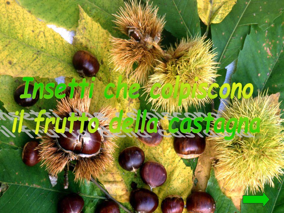 Insetti che colpiscono il frutto della castagna