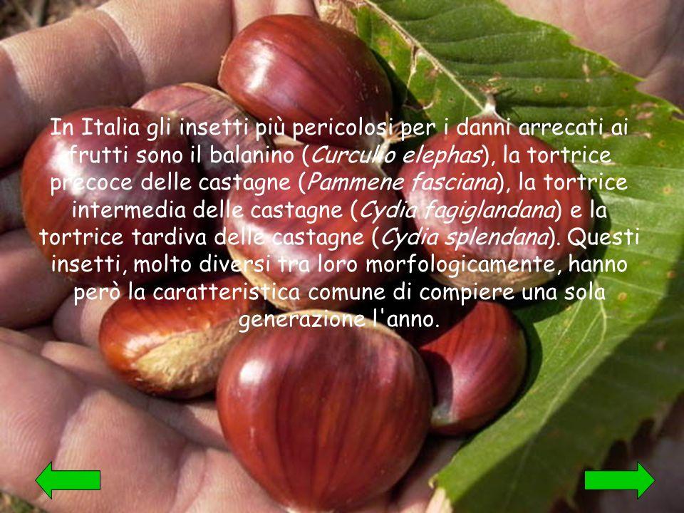 In Italia gli insetti più pericolosi per i danni arrecati ai frutti sono il balanino (Curculio elephas), la tortrice precoce delle castagne (Pammene fasciana), la tortrice intermedia delle castagne (Cydia fagiglandana) e la tortrice tardiva delle castagne (Cydia splendana).