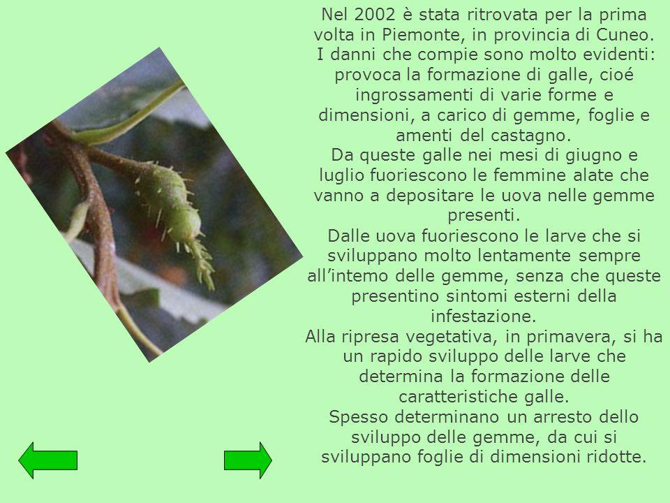 Nel 2002 è stata ritrovata per la prima volta in Piemonte, in provincia di Cuneo.