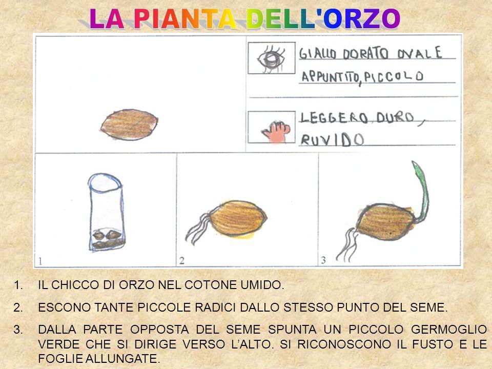 LA PIANTA DELL ORZO IL CHICCO DI ORZO NEL COTONE UMIDO.