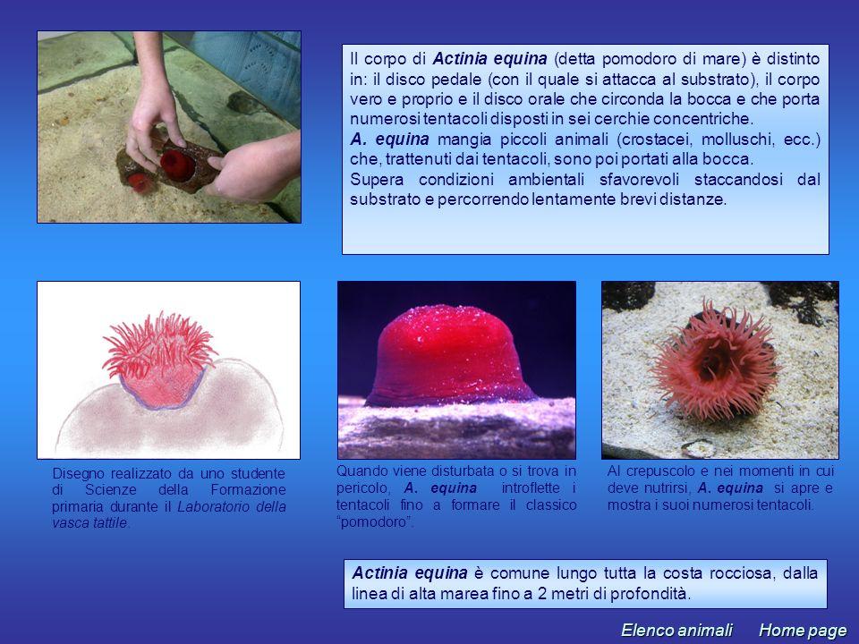 Il corpo di Actinia equina (detta pomodoro di mare) è distinto in: il disco pedale (con il quale si attacca al substrato), il corpo vero e proprio e il disco orale che circonda la bocca e che porta numerosi tentacoli disposti in sei cerchie concentriche.