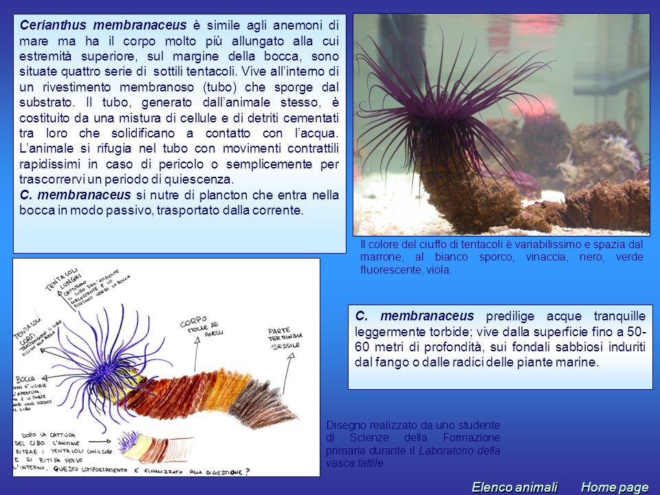 Cerianthus membranaceus è simile agli anemoni di mare ma ha il corpo molto più allungato alla cui estremità superiore, sul margine della bocca, sono situate quattro serie di sottili tentacoli. Vive all'interno di un rivestimento membranoso (tubo) che sporge dal substrato. Il tubo, generato dall'animale stesso, è costituito da una mistura di cellule e di detriti cementati tra loro che solidificano a contatto con l'acqua. L'animale si rifugia nel tubo con movimenti contrattili rapidissimi in caso di pericolo o semplicemente per trascorrervi un periodo di quiescenza.