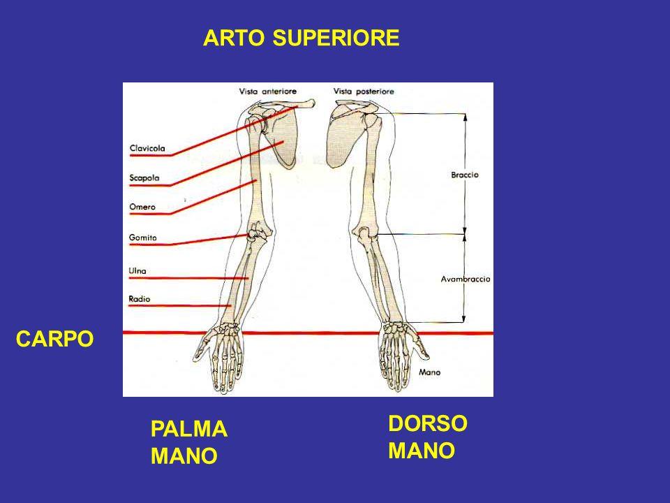 ARTO SUPERIORE CARPO DORSO MANO PALMA MANO