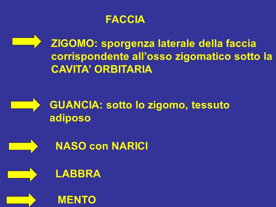 FACCIA ZIGOMO: sporgenza laterale della faccia. corrispondente all'osso zigomatico sotto la. CAVITA' ORBITARIA.