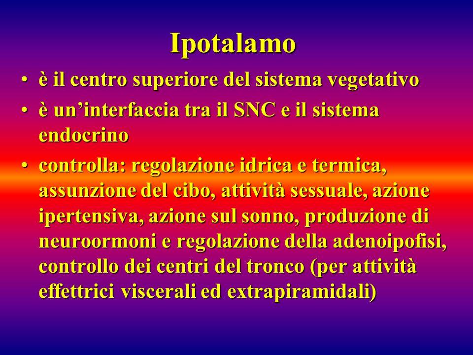 Ipotalamo è il centro superiore del sistema vegetativo