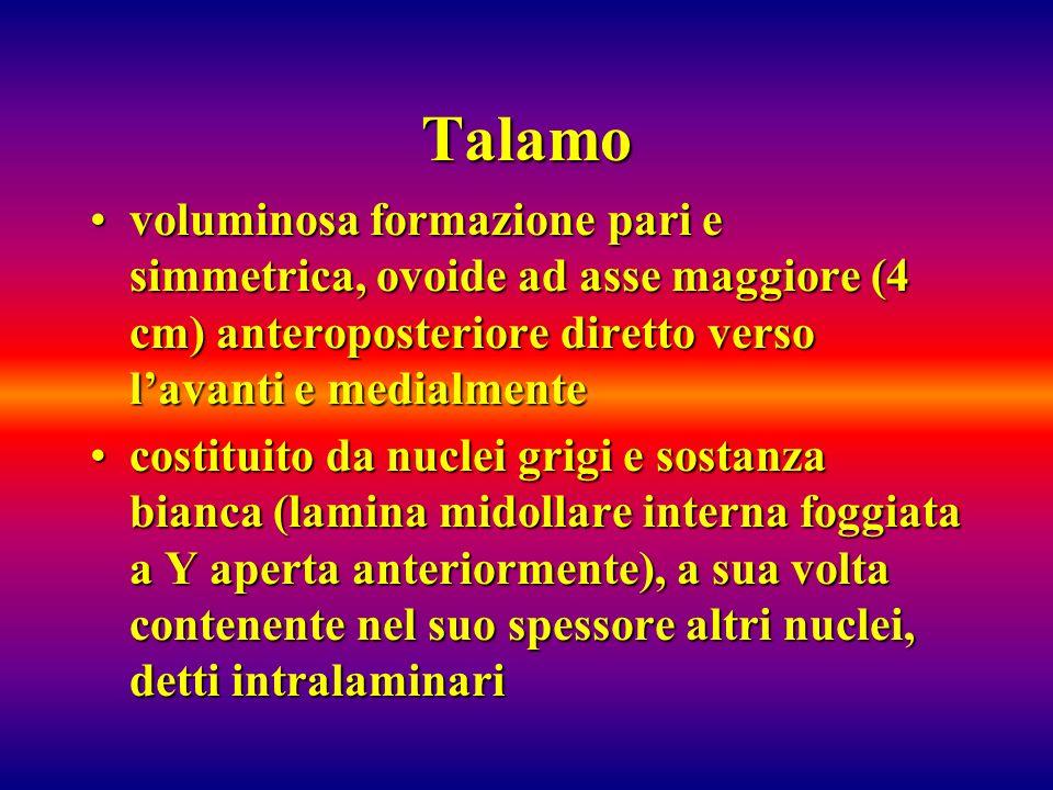 Talamovoluminosa formazione pari e simmetrica, ovoide ad asse maggiore (4 cm) anteroposteriore diretto verso l'avanti e medialmente.