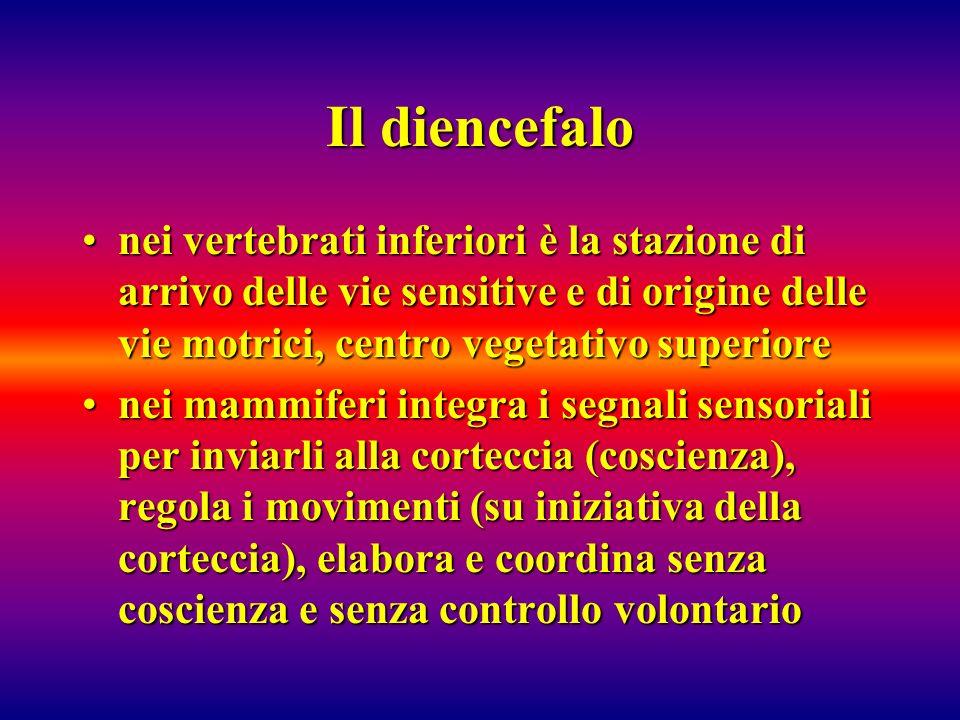 Il diencefalonei vertebrati inferiori è la stazione di arrivo delle vie sensitive e di origine delle vie motrici, centro vegetativo superiore.