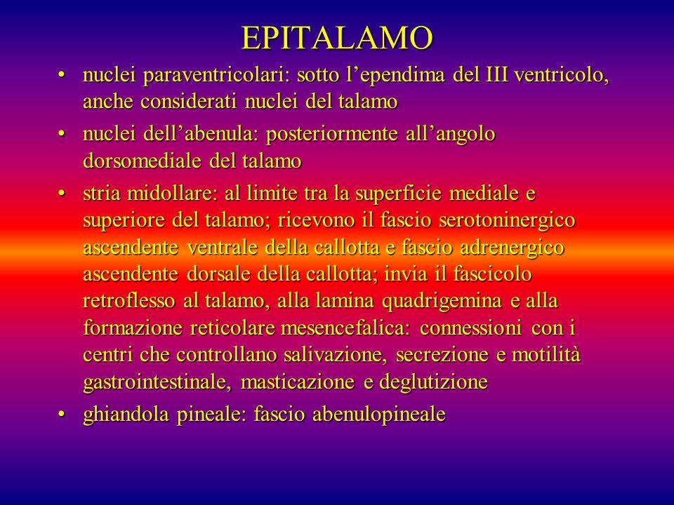 EPITALAMO nuclei paraventricolari: sotto l'ependima del III ventricolo, anche considerati nuclei del talamo.