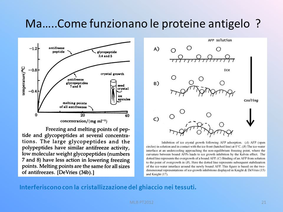 Ma…..Come funzionano le proteine antigelo