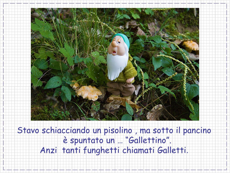 Anzi tanti funghetti chiamati Galletti.