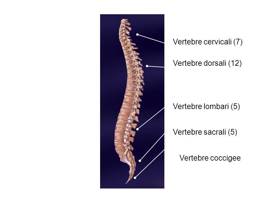 Vertebre cervicali (7) Vertebre dorsali (12) Vertebre lombari (5) Vertebre sacrali (5) Vertebre coccigee.