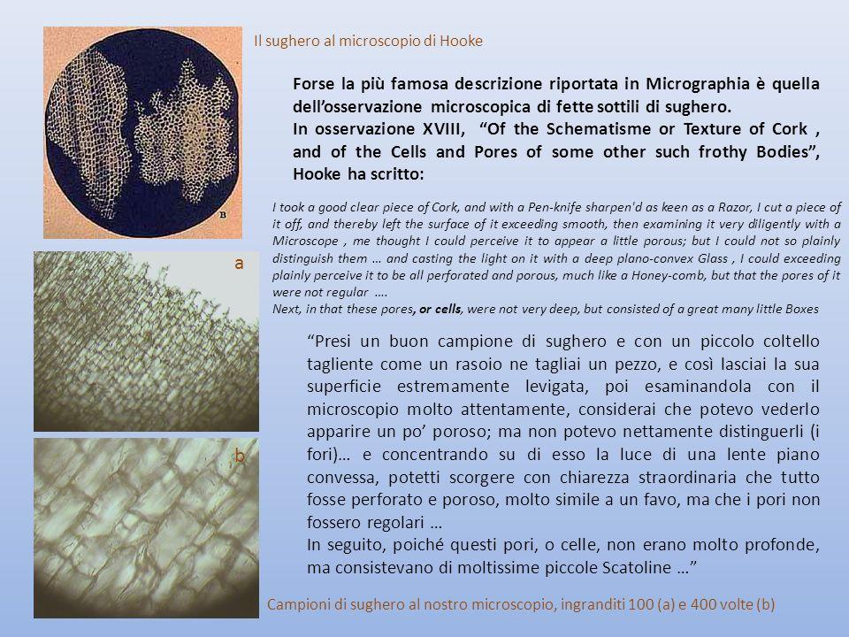 Forse la più famosa descrizione riportata in Micrographia è quella dell'osservazione microscopica di fette sottili di sughero.