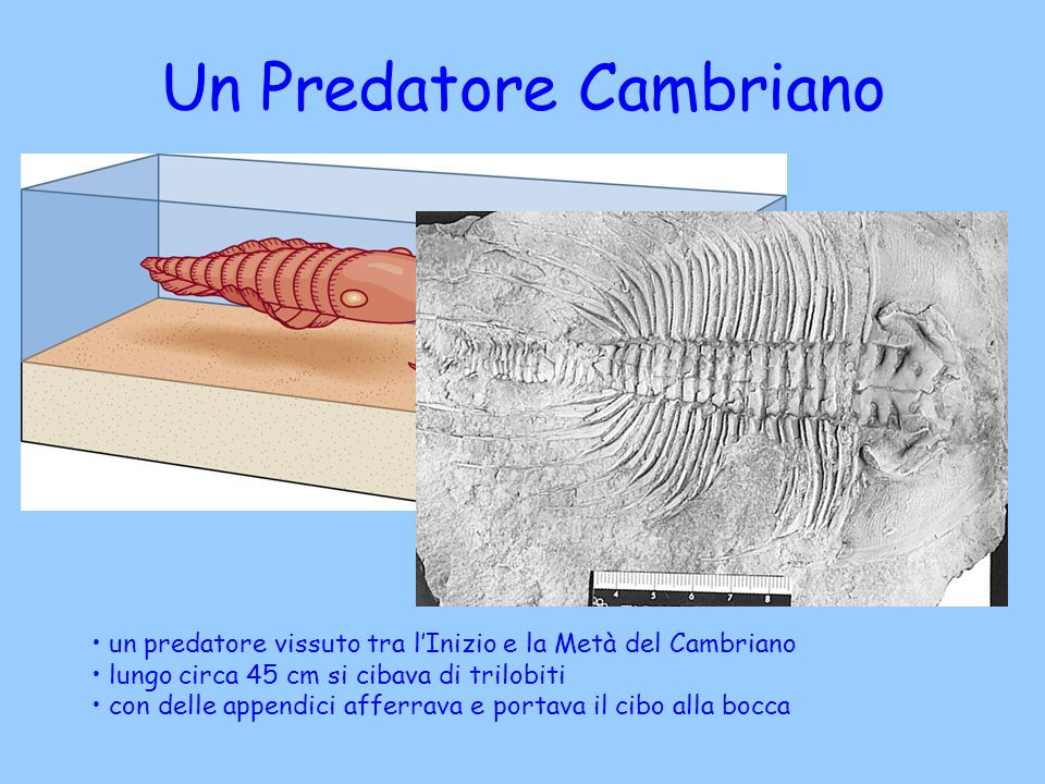 Un Predatore Cambriano