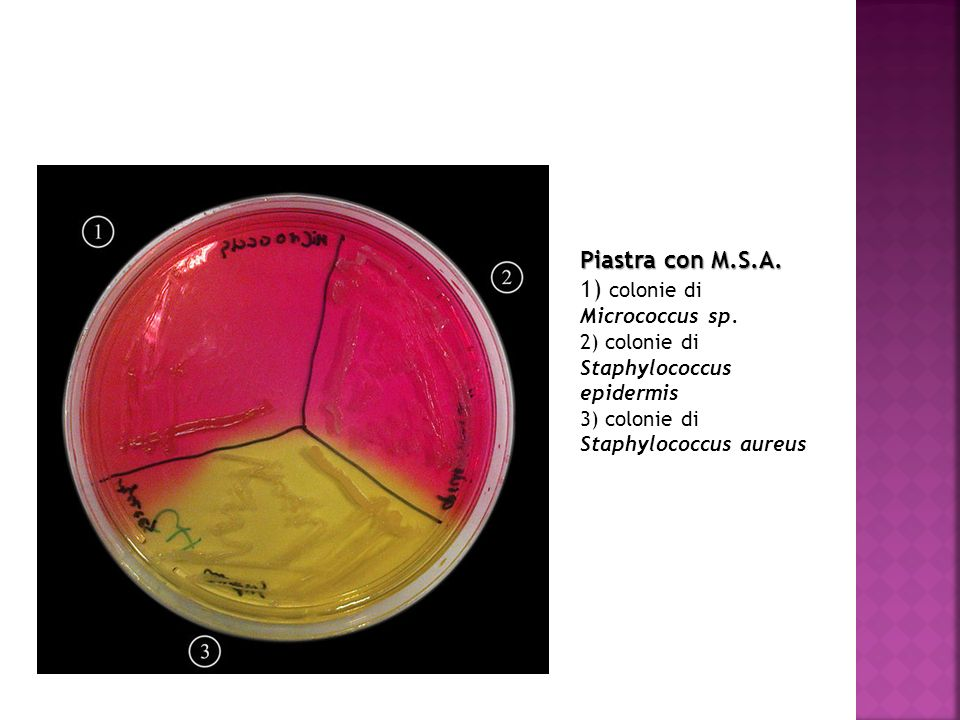 1) colonie di Micrococcus sp.