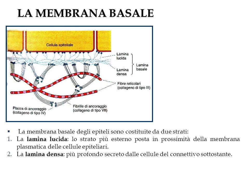 LA MEMBRANA BASALE La membrana basale degli epiteli sono costituite da due strati: