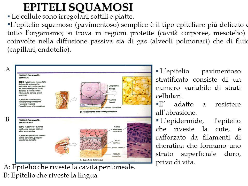 EPITELI SQUAMOSI A: Epitelio che riveste la cavità peritoneale. B: Epitelio che riveste la lingua.