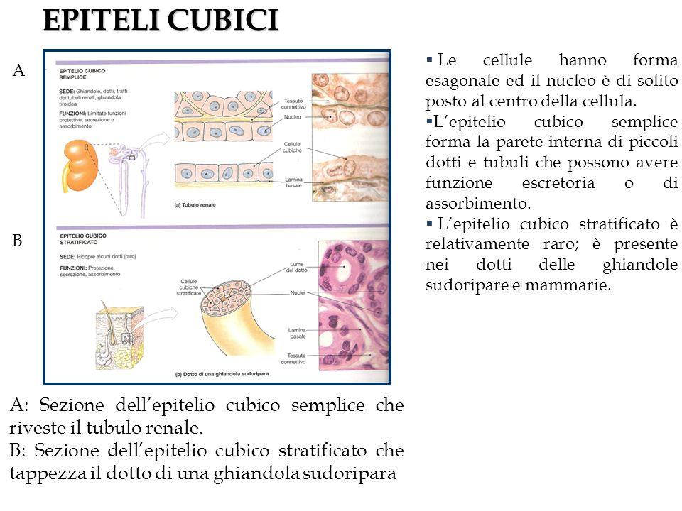 EPITELI CUBICI A. B. A: Sezione dell'epitelio cubico semplice che riveste il tubulo renale.